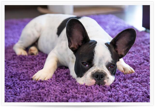 carpet pet urine removal Oxford MI